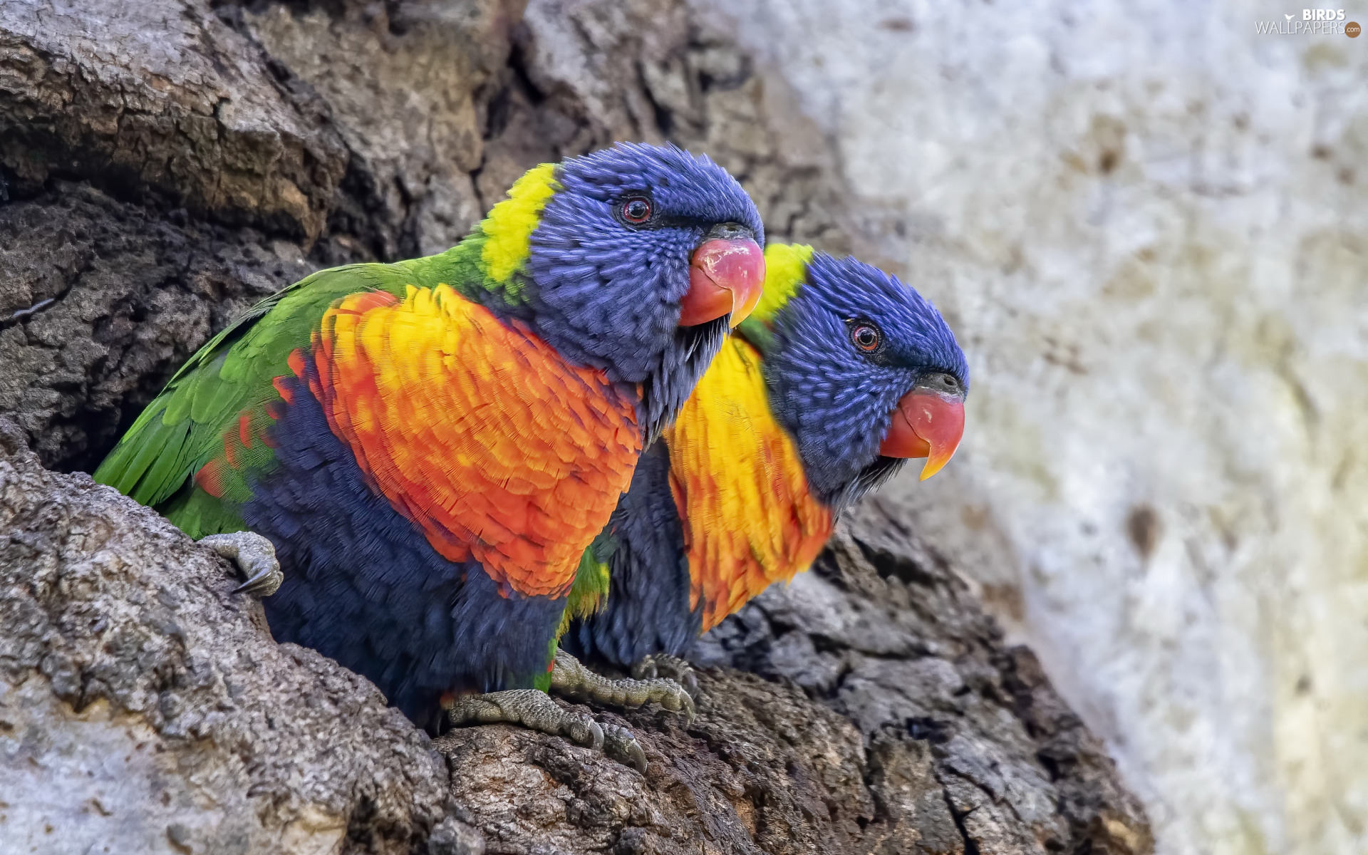 lorikeets Mountain, Two, Parrots