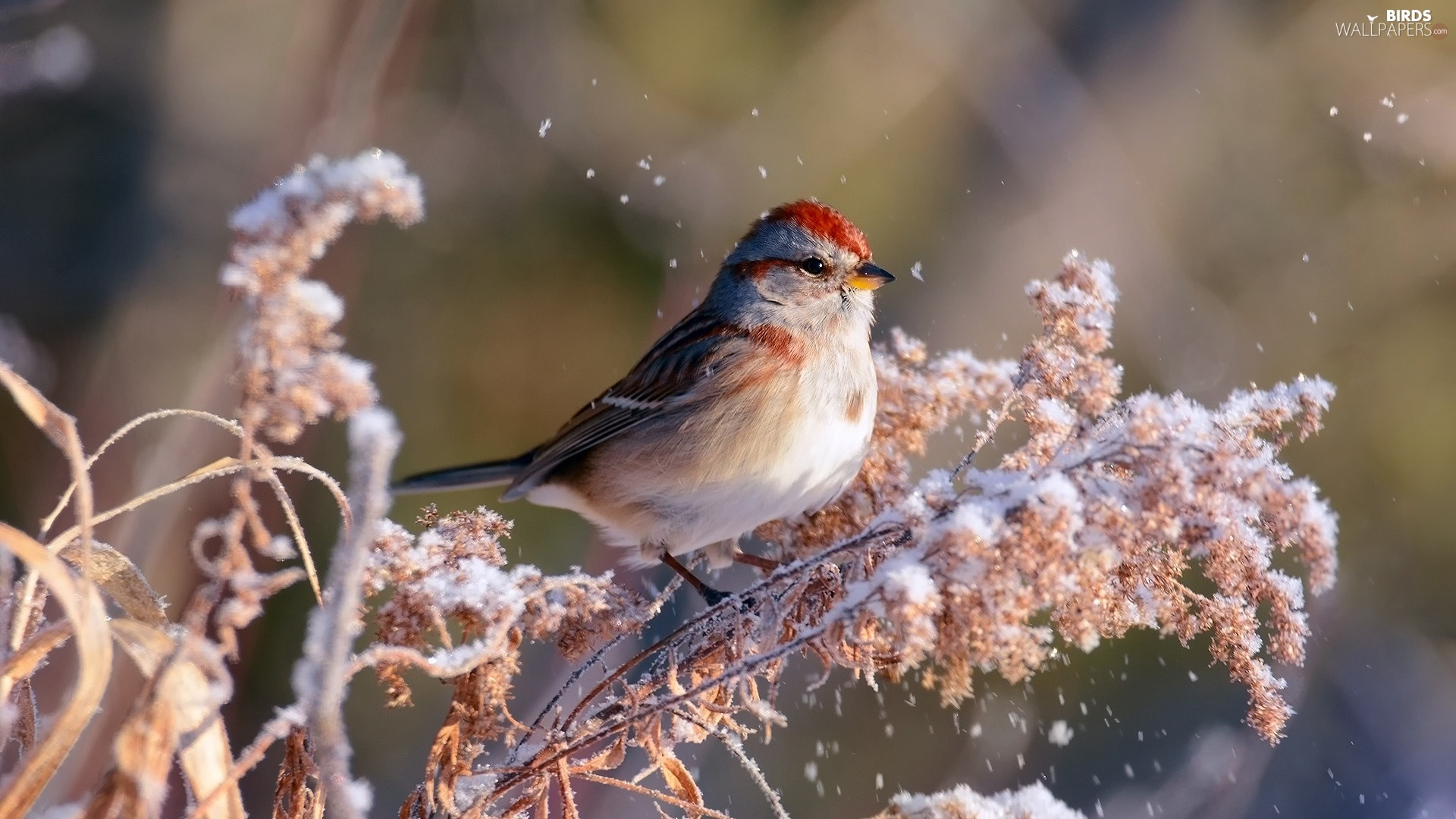 Bird, redpoll, A snow-covered, plant, winter