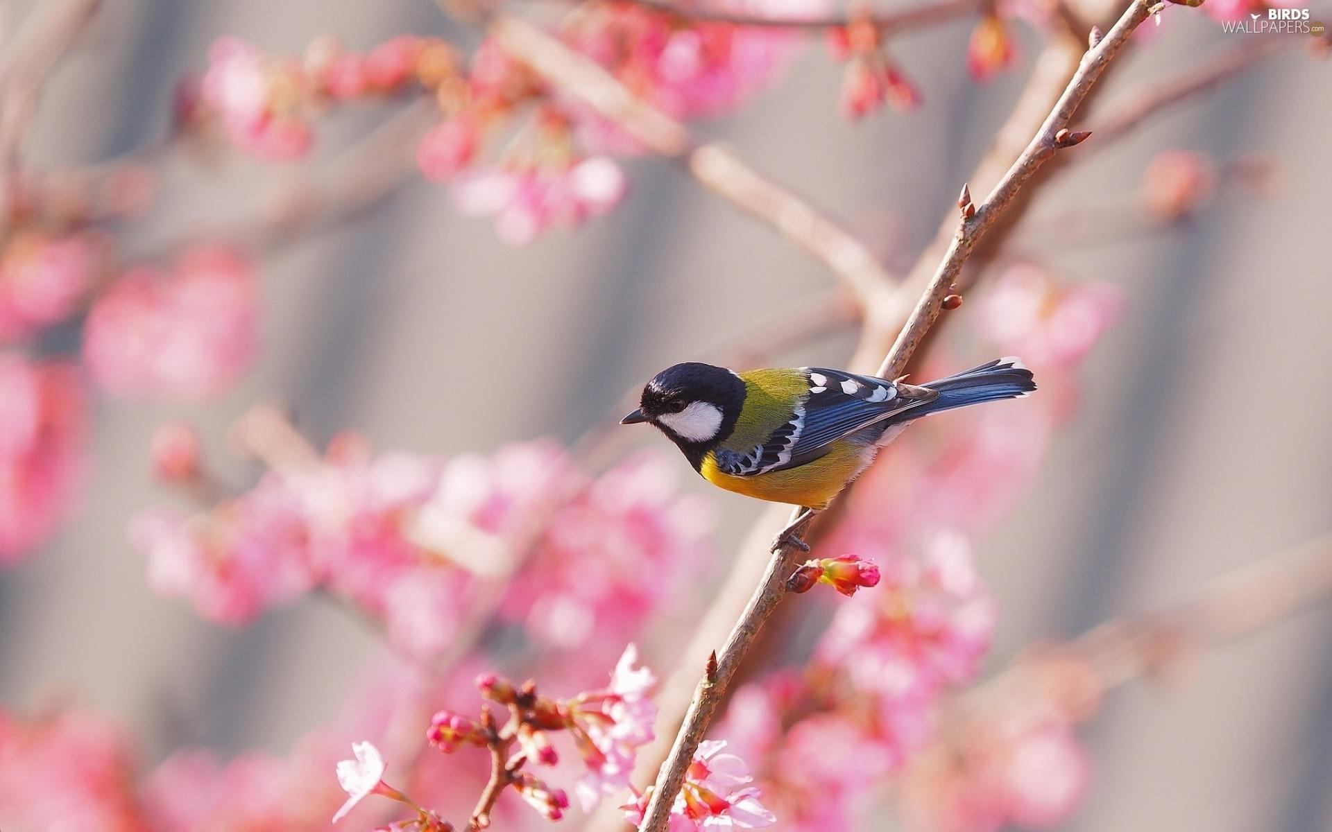 spring tit branch birds wallpapers 1920x1200