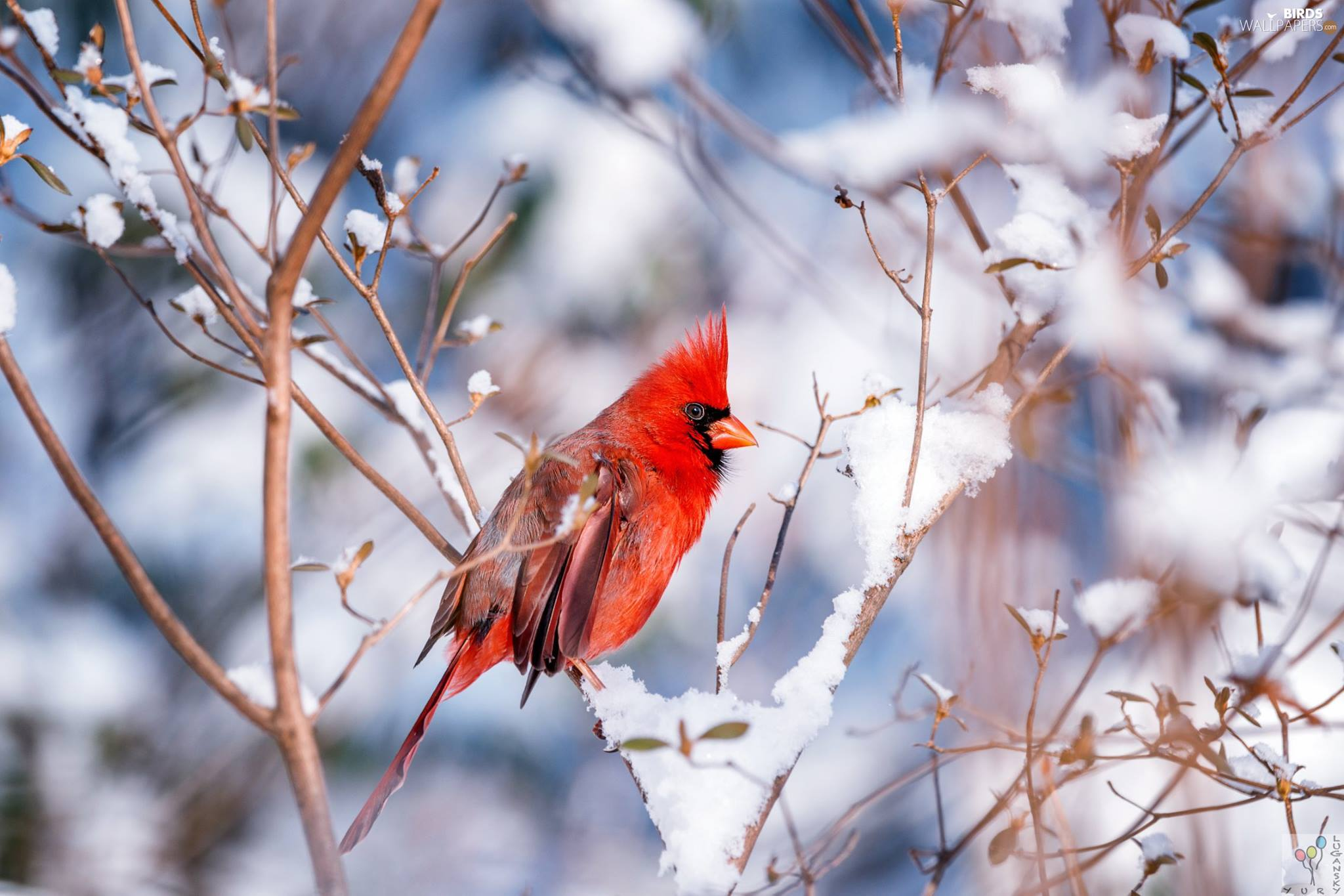 Bird, Twigs, winter, Northern Cardinal