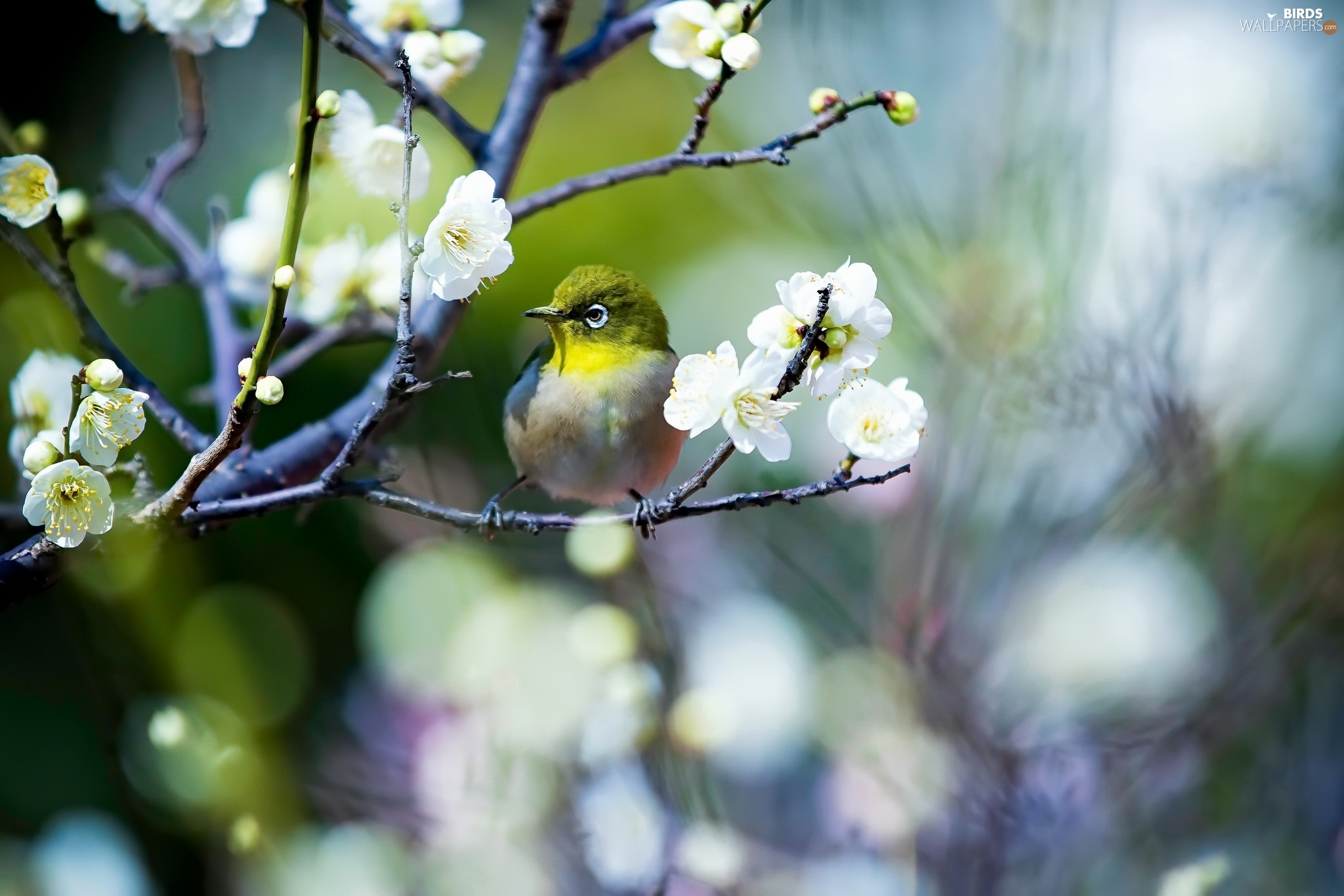 flowers, spring, japanese white-eye, twig, bird - birds wallpapers